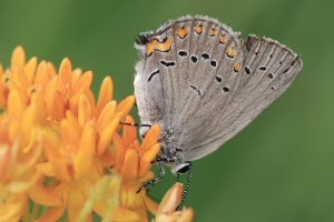 Hairstreak 3